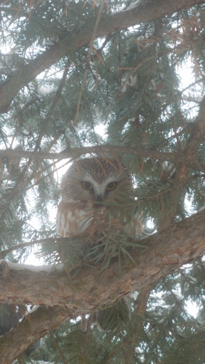 A Northern Saw-whet owl, the smallest owl in North America, perches in a tree.