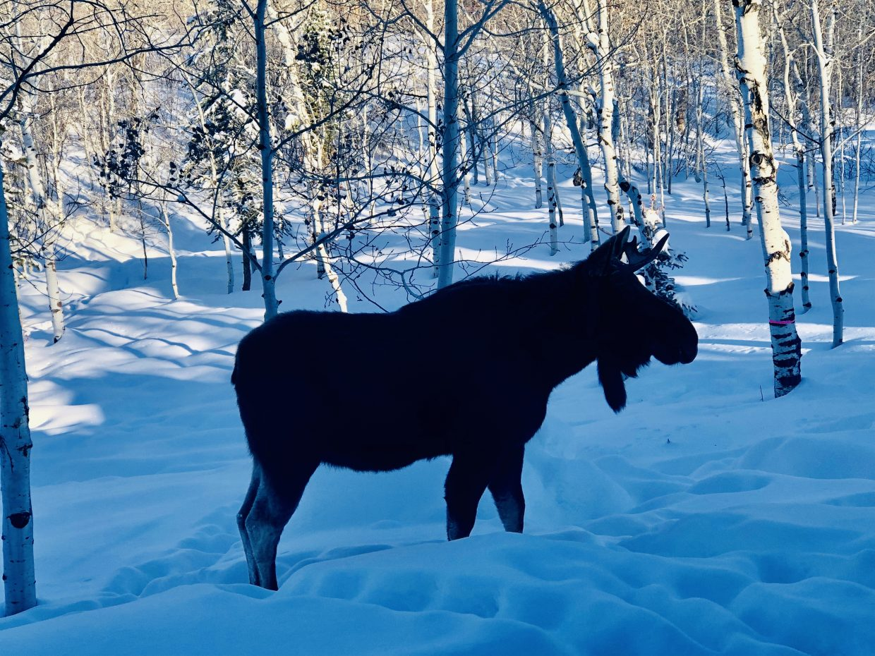 Top of the morning on Angler's drive with this bull moose who stopped by during the Carroll family's coffee.