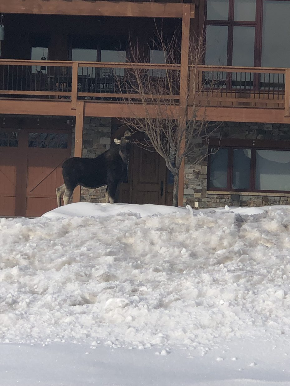 A moose visits a backyard in Steamboat Springs.