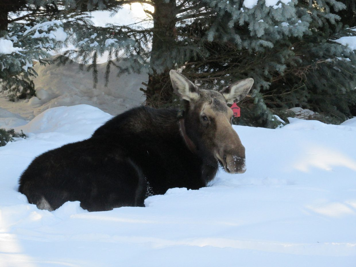 Mother moose.