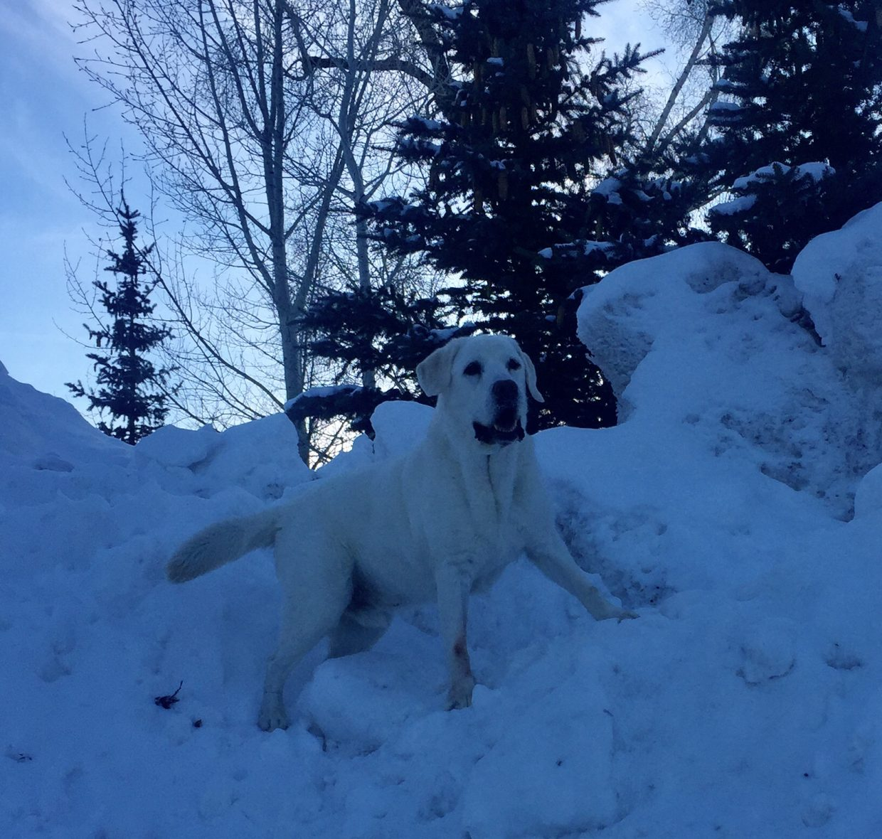 Barrett Moore, age 7, took this picture of her English Lab Elliott playing in a snow bank!