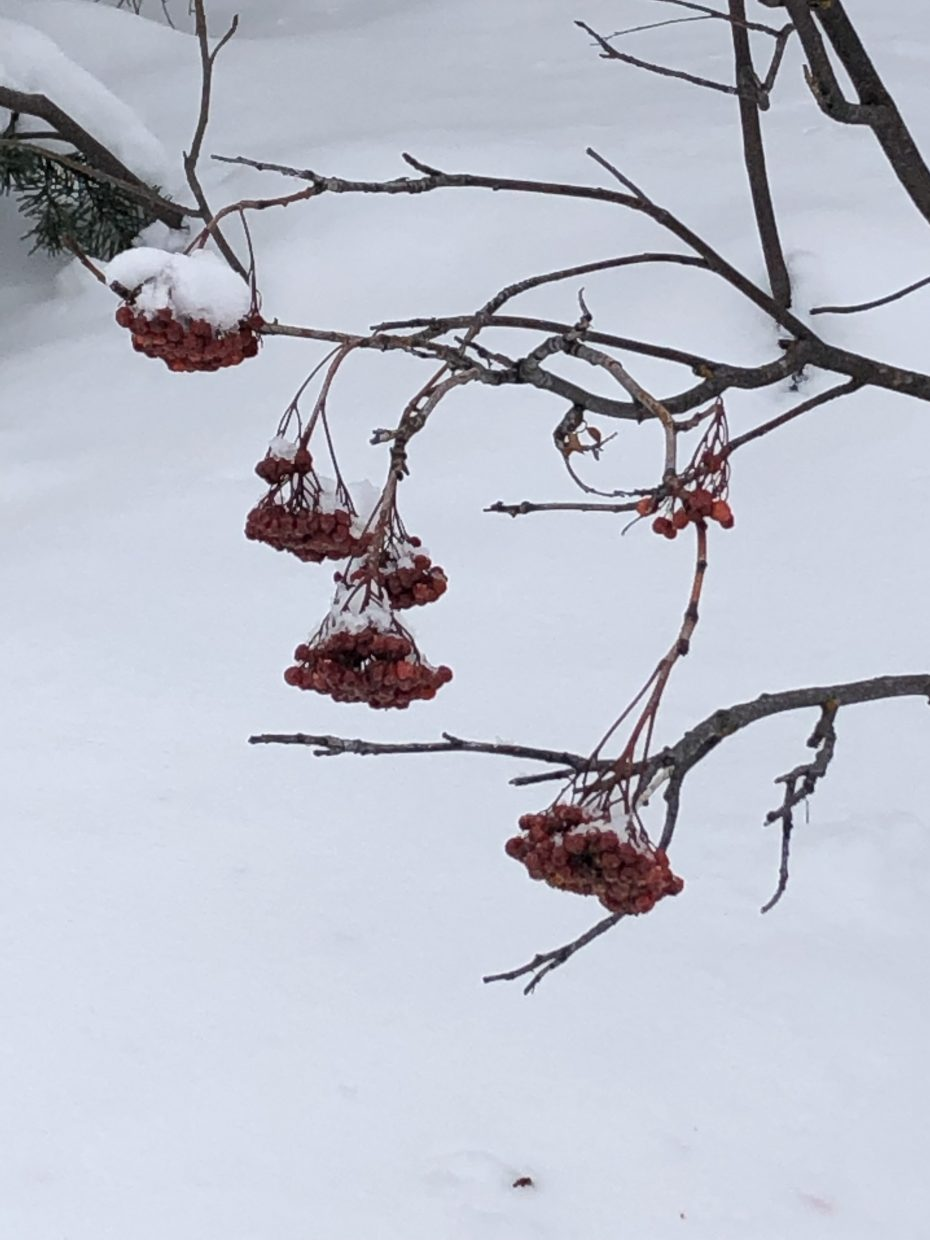 Berries are seen frozen during snowshoeing along Sarvis Creek.