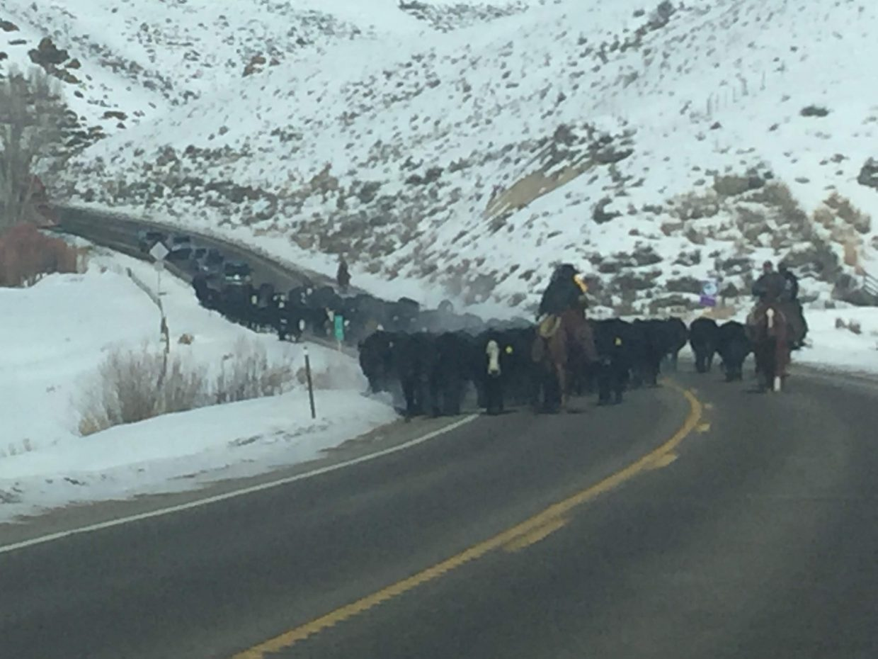 Two ranchers drive cattle down a road in Routt County.