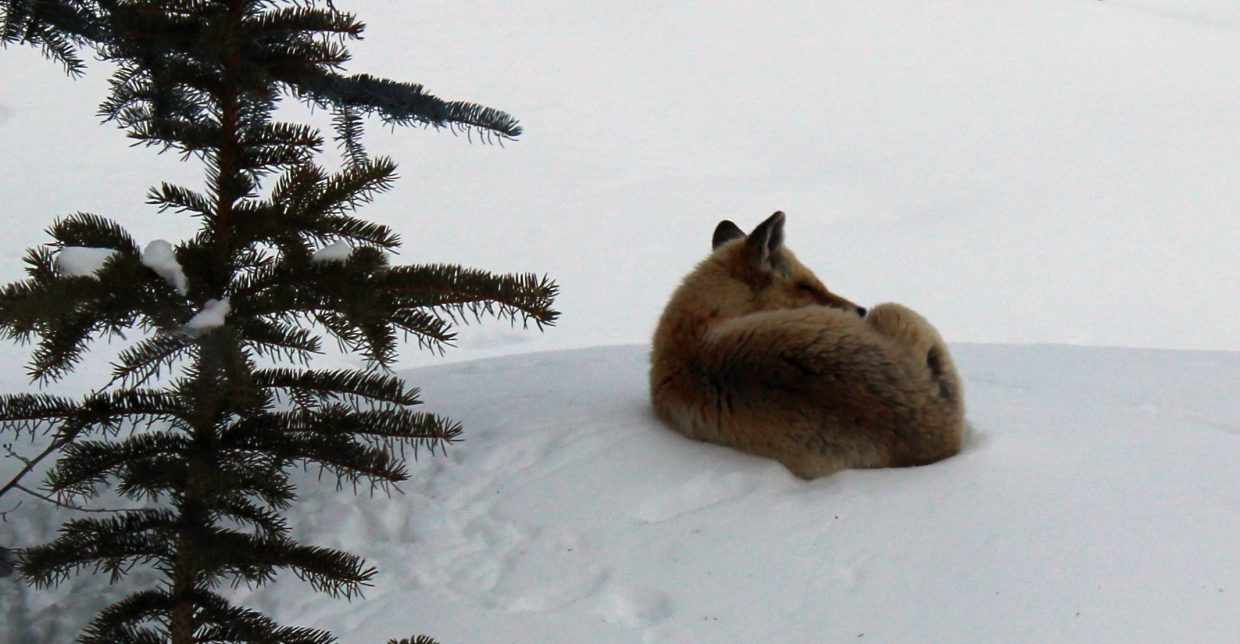 This young fox curled up for a brief nap just as snow began to fall Monday evening.