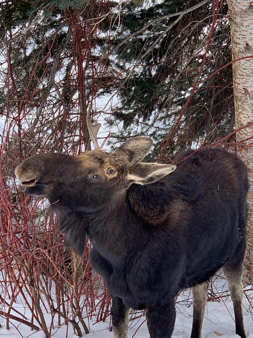 Moose in the