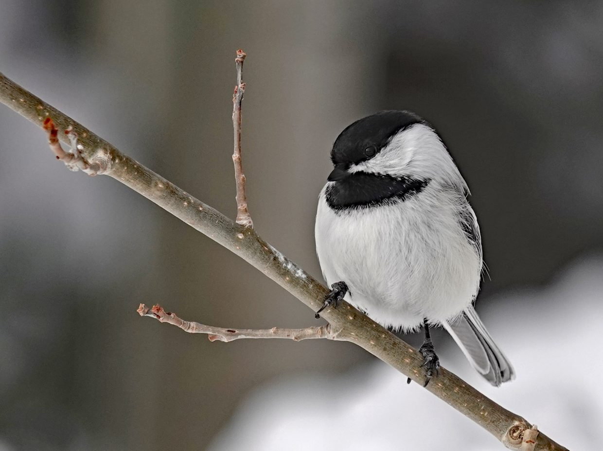 Black-capped Chickadee near the feeder at the top of the gondola at Steamboat Resort.
