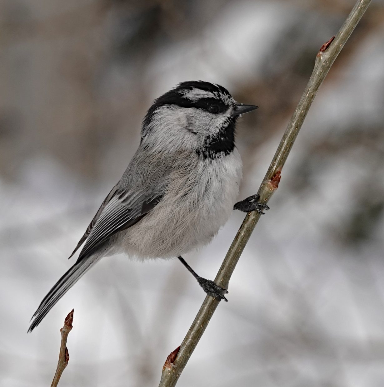 Mountain Chickadee at the feeder near the top of the gondola at Steamboat Resort.