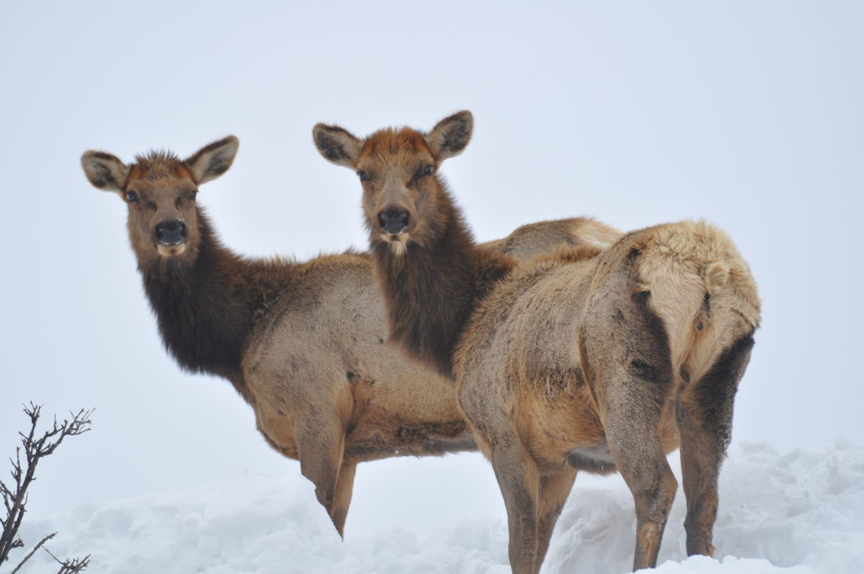 Elk on Apres Ski Way.