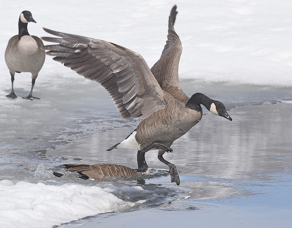 A Canada goose spreads its wings as it flies into the cold waters of Casey's Pond on Wednesday in Steamboat Springs.