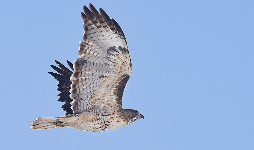 A hawk spreads its wings as it takes off from a street light along U.S. Highway 40 Wednesday afternoon.