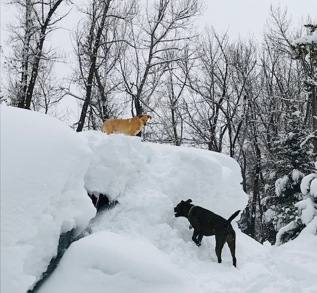 Two dogs enjoy the deep snow.