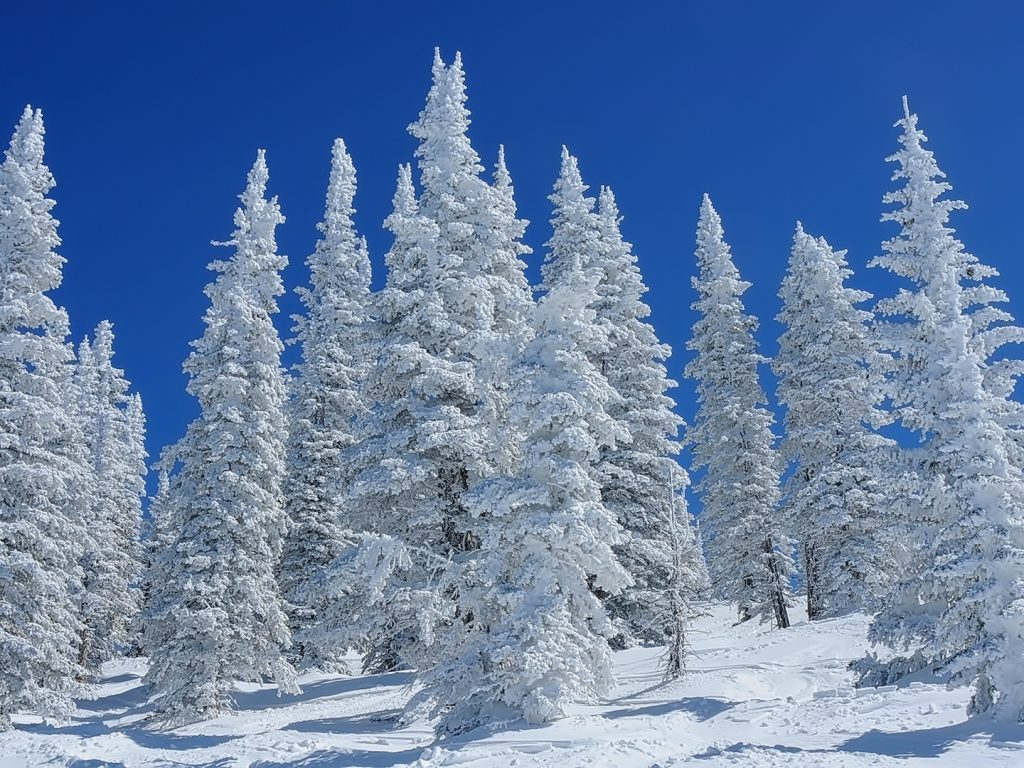 Snow covered Pines, Top of the ski area.