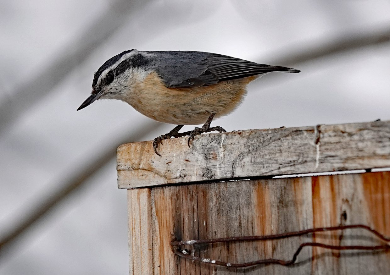 Red-breasted Nuthatch at the feeder near the top of the gondola at Steamboat Resort.
