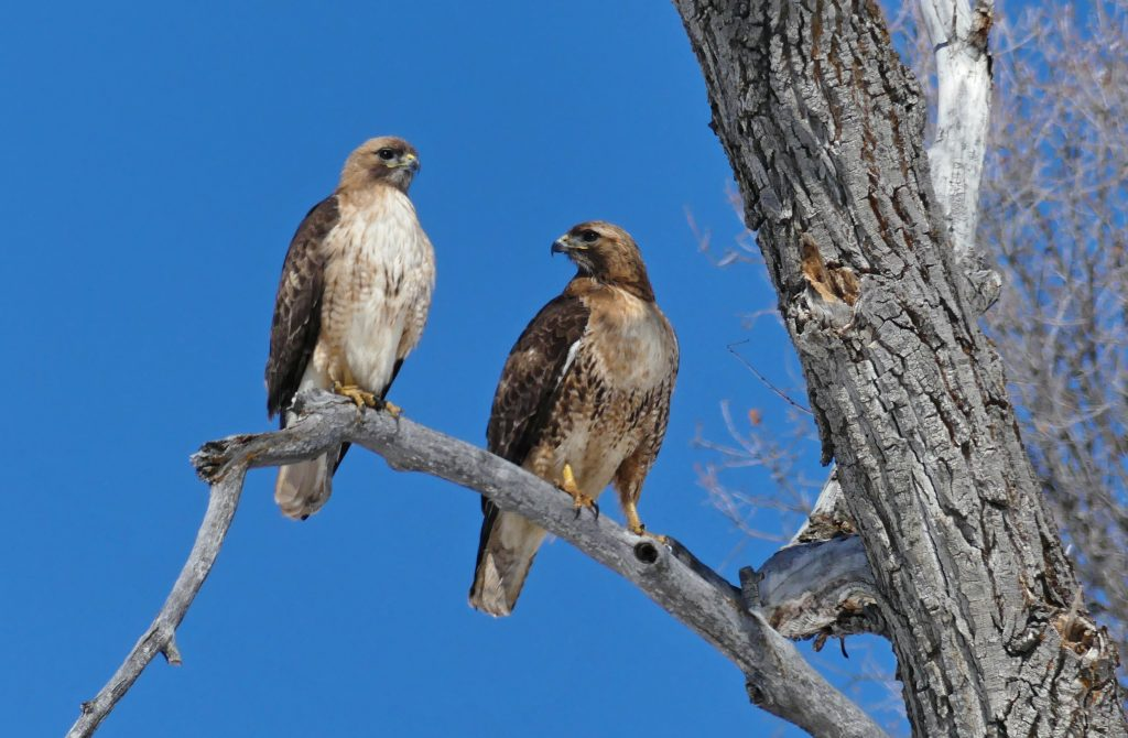 A pair of Red-Tailed Hawks enjoys a sunny afternoon near Lake Catamount.