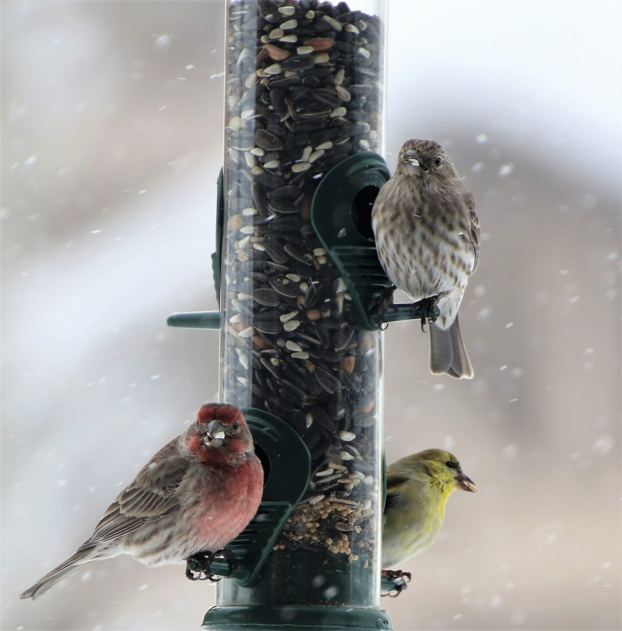 Multi-colored finches visit a bird feeder as it snows.