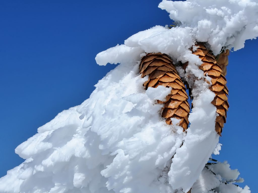 Chilly pine cones.