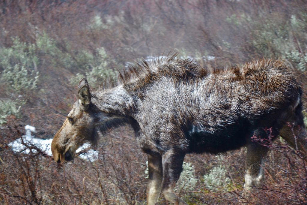 A scruffy moose roams through some serviceberries.