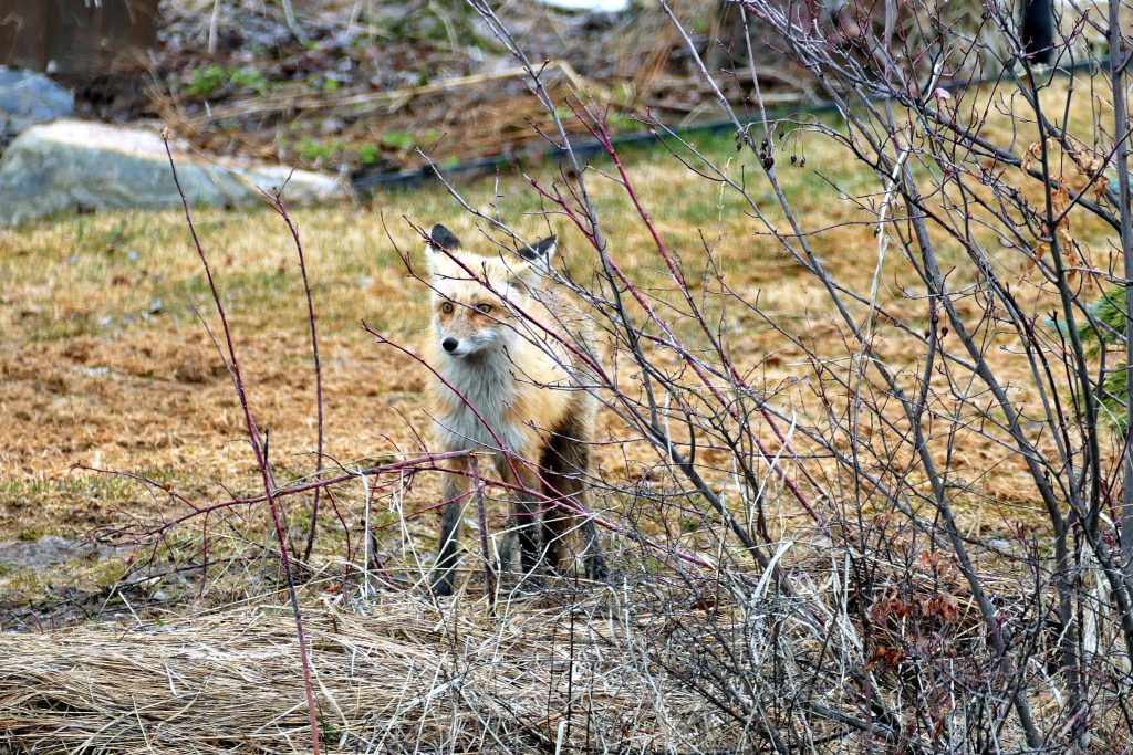 A fox roams around the Fish Creek Falls Road area in Steamboat Springs.