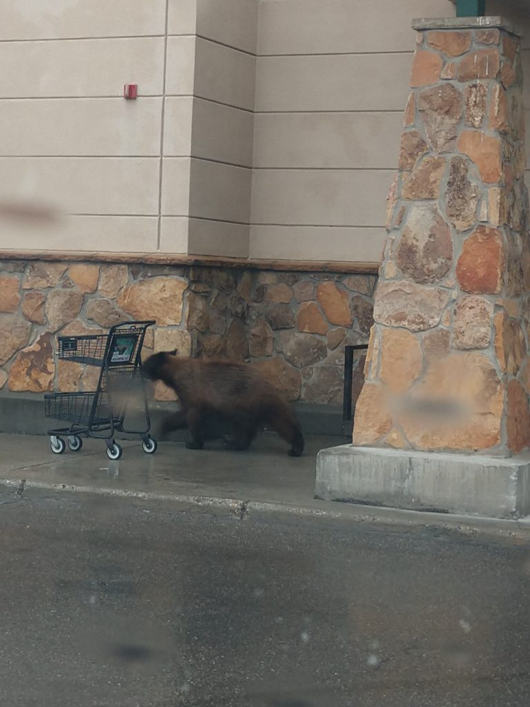 I saw this little bear walking around Safeway in Steamboat Springs this morning, and want everyone to be aware that they are coming out of hibernation and will be around everywhere. Be safe and stay at a distance. Please use common sense when around wild life. If you stay clear of them, they will stay clear of you.