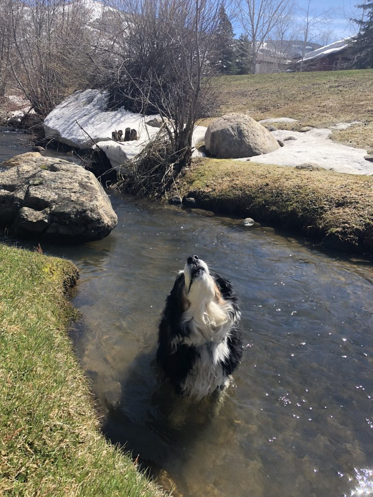 A dog celebrates Spring's arrival with a dip in a creek.