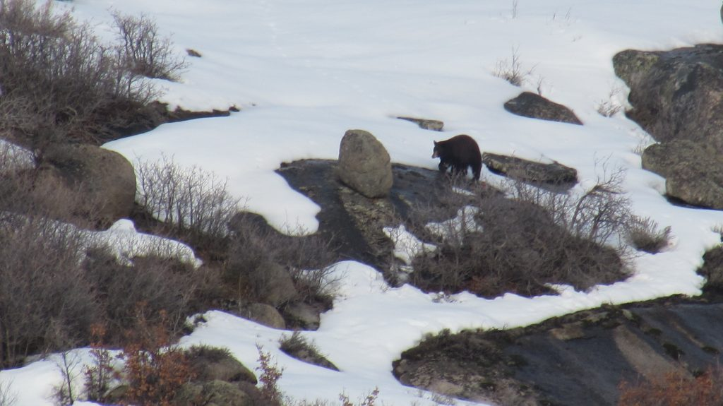 It's spring for sure! We spotted this bear across the road from our ranch on County Road 16 yesterday evening.