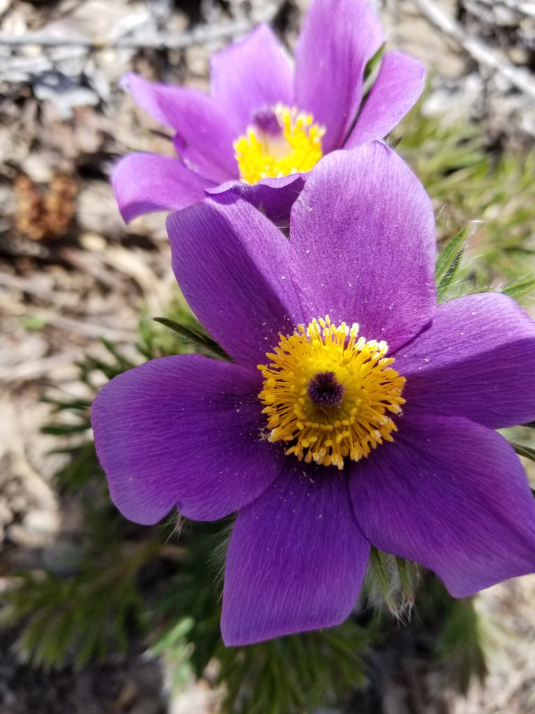 Pasque flowers bloom at the Yampa River Botanic Park.