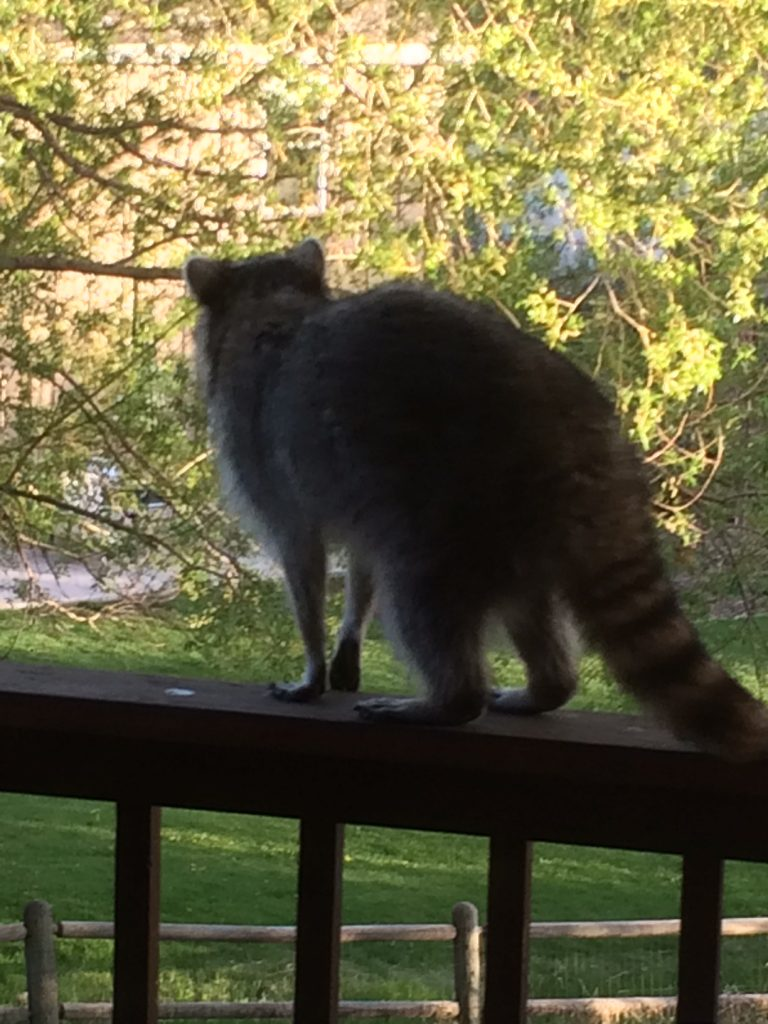 A raccoon walks along a deck railing.