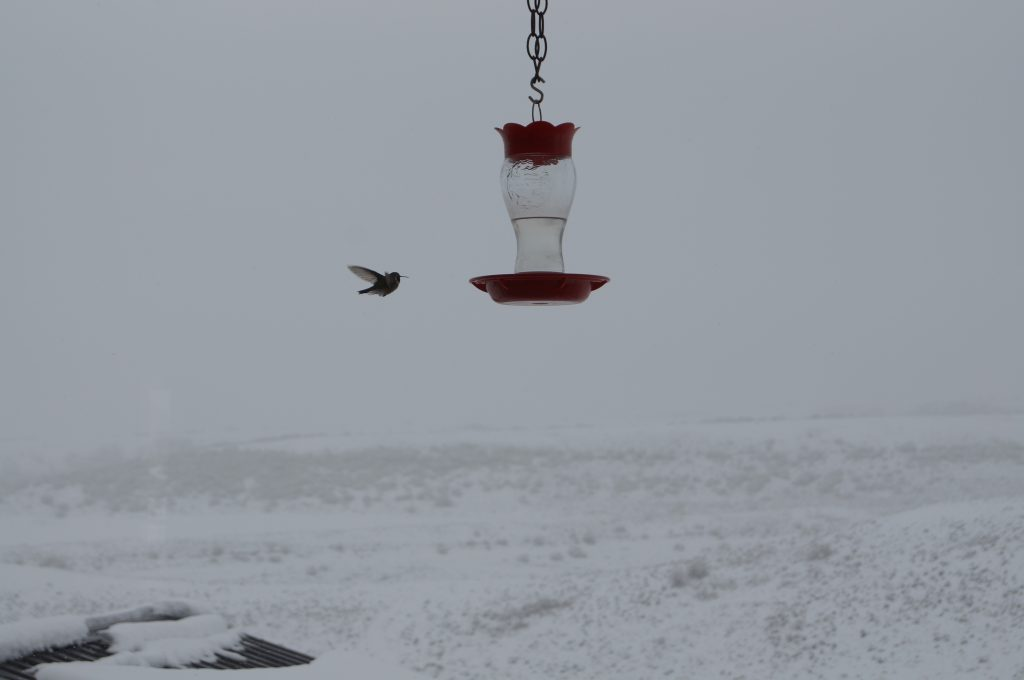A hummingbird braves the snow to find some food.