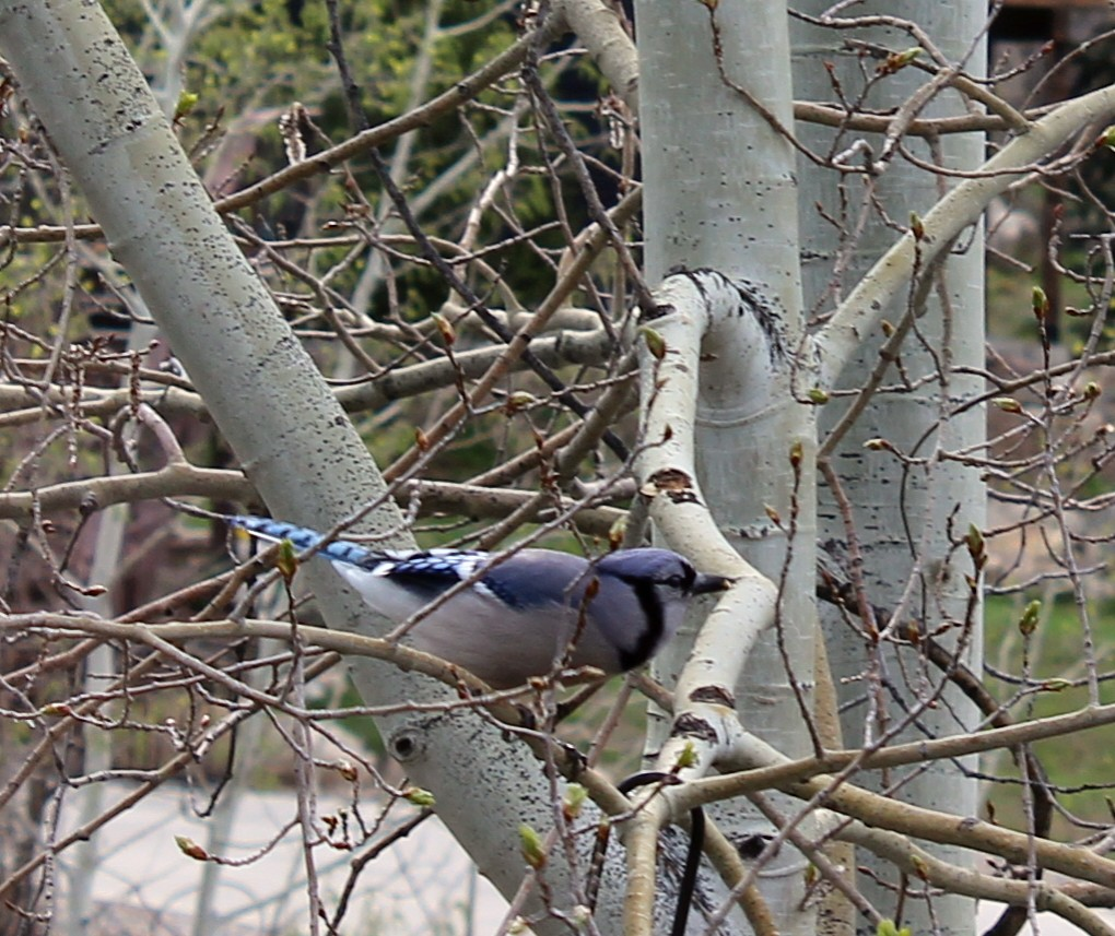 First blue jay sighting in Steamboat Springs.