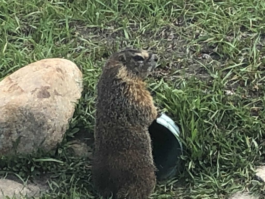Groundhogs in the Yampa Valley.
