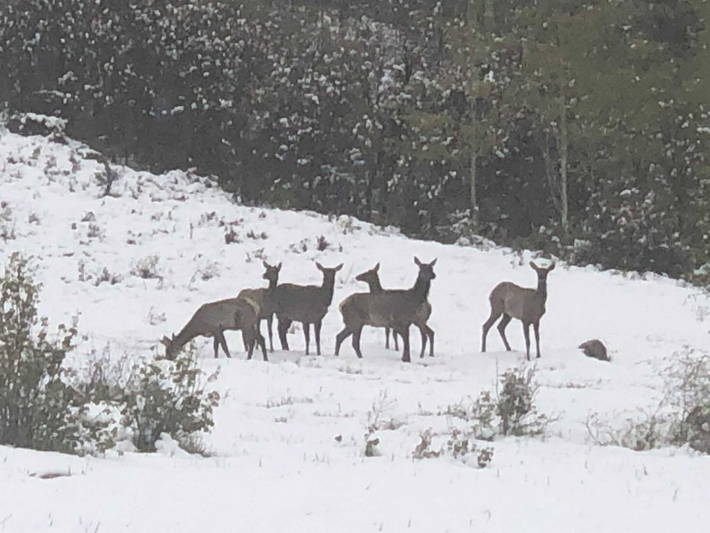 Elk frolic in the snow.