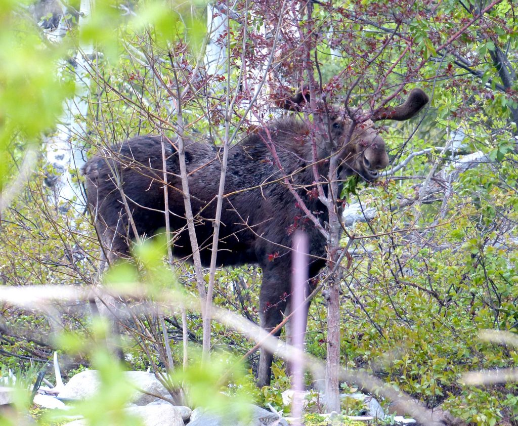 A moose is spotted near The Sanctuary on Steamboat Boulevard in Steamboat Springs.