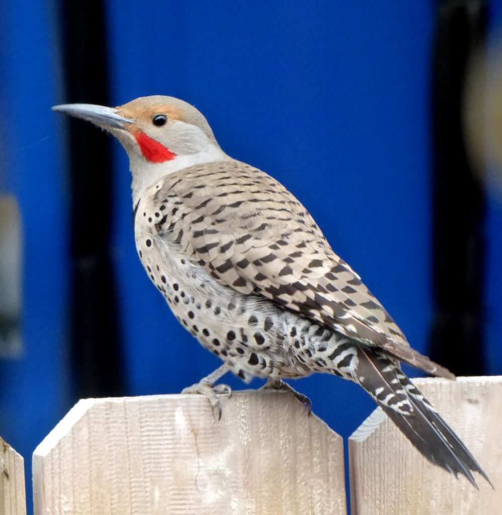Northern Flicker perches on a fence post.