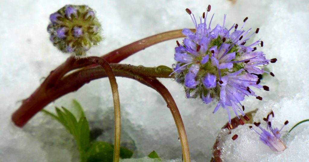 Ballhead Waterleaf pops through the snow.