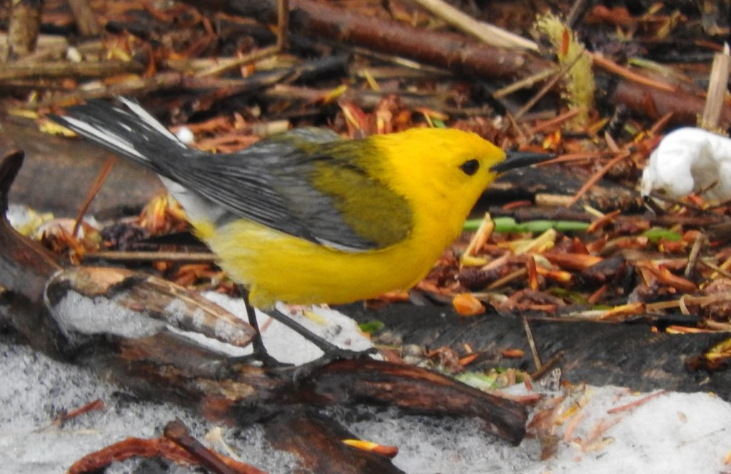A rare Prothonotary Warbler visits the Yampa River Botanic Park.