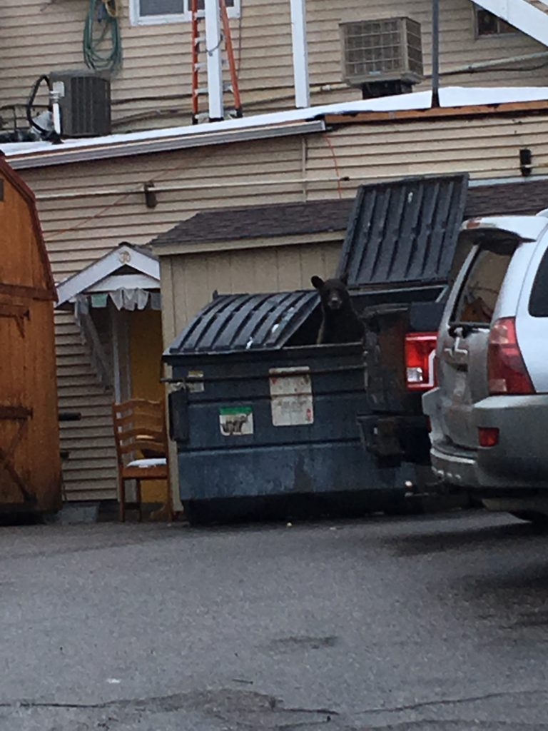 A bear pops its head out of a dumpster in downtown Steamboat Springs.