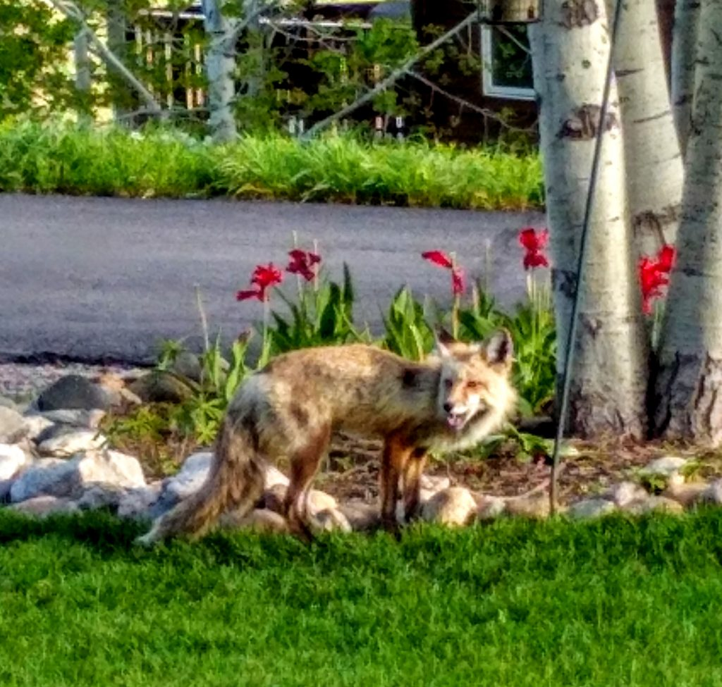 A fox tip-toes through tulips.