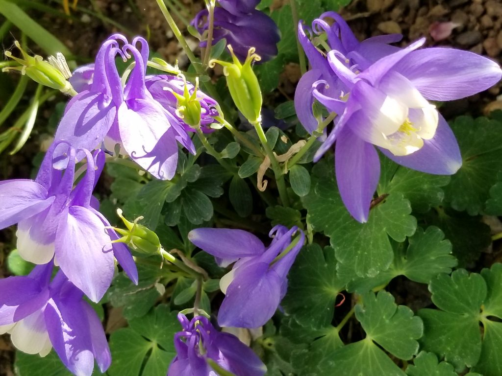 Columbines bloom at Yampa River Botanic Park.