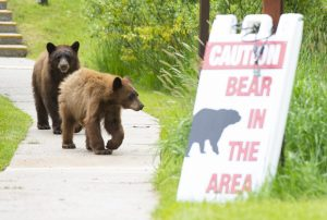 Bears in cars, bears in condos: Don't be the next victim of a bear burglary
