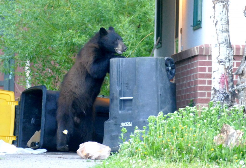 A bear battles a trash can along Fish Creek Falls Road in Steamboat Springs.