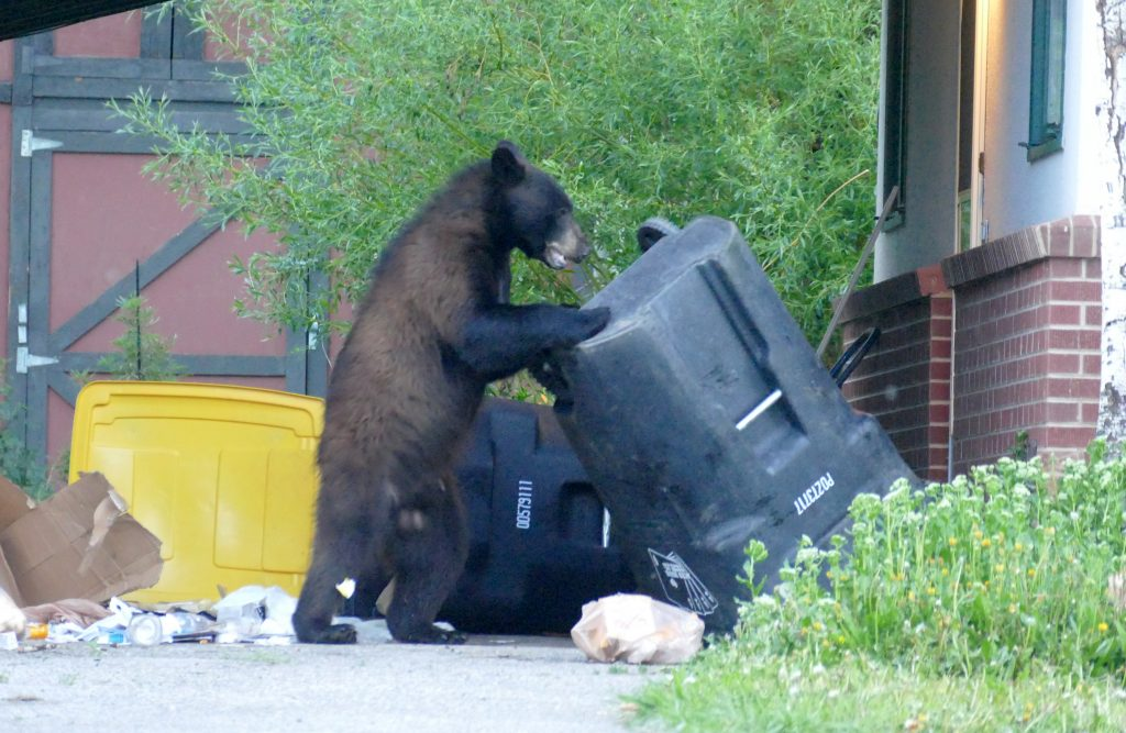 A bear battles a trash can in June 2019 along Fish Creek Falls Road in Steamboat Springs.
