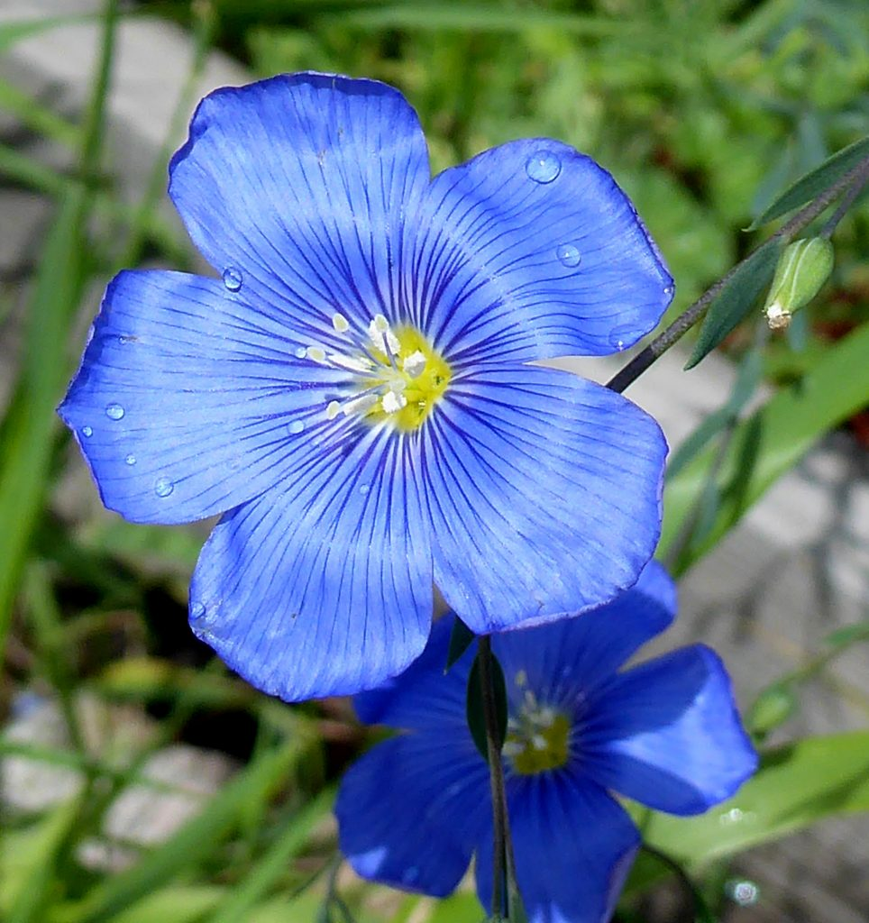A blue flax blooms.