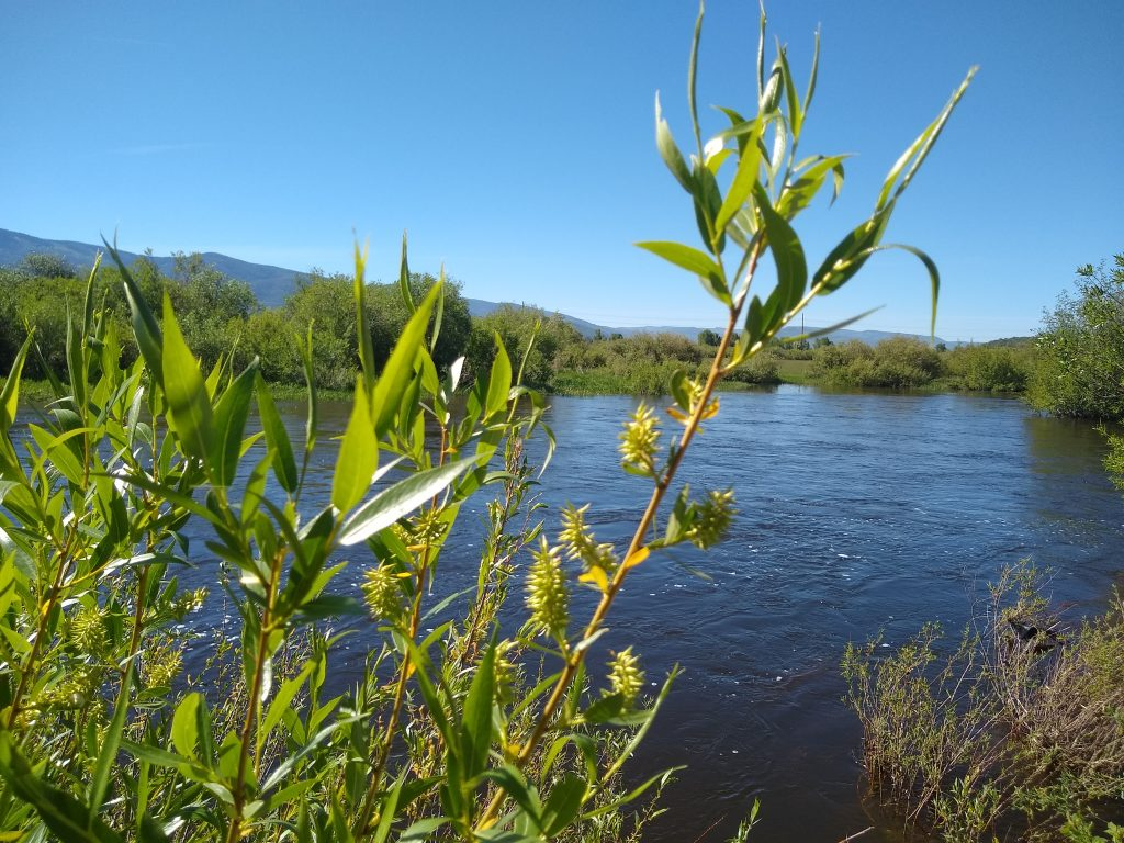 Grass grows tall along the Yampa River.