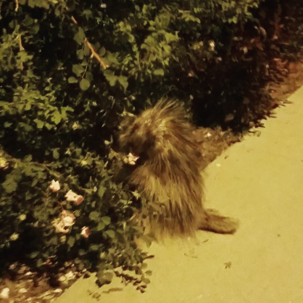 Saw this little guy munching on some flowers on my walk home from Wild Plum at 9:30 at night.