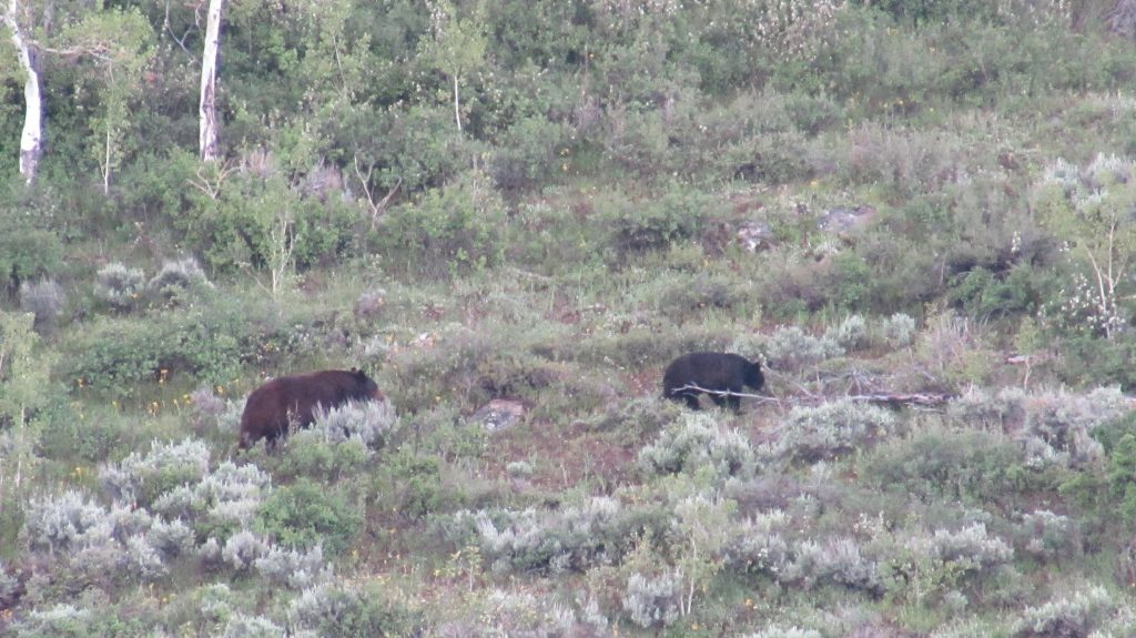 Two bears go on a hike along Silver Creek Trail.