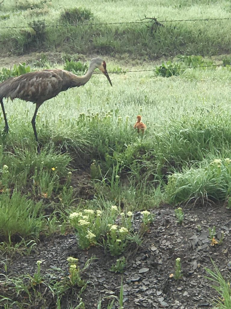 A Sandhill crane and her chick received a helping hand to cross the road rom Dan VanOrden and his granddaughter Azi.