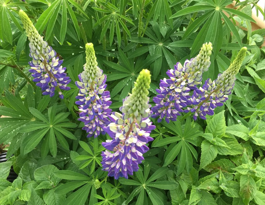 Lupine From Above