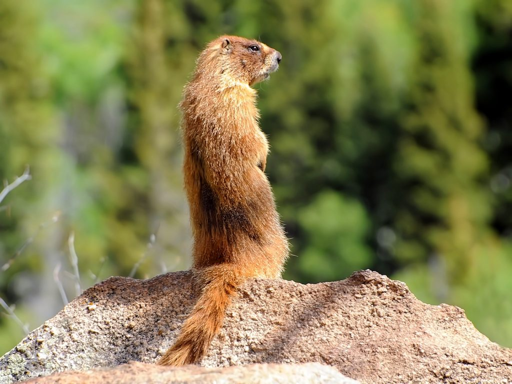 A marmot stands tall in the Mount Zirkel Wilderness Area.