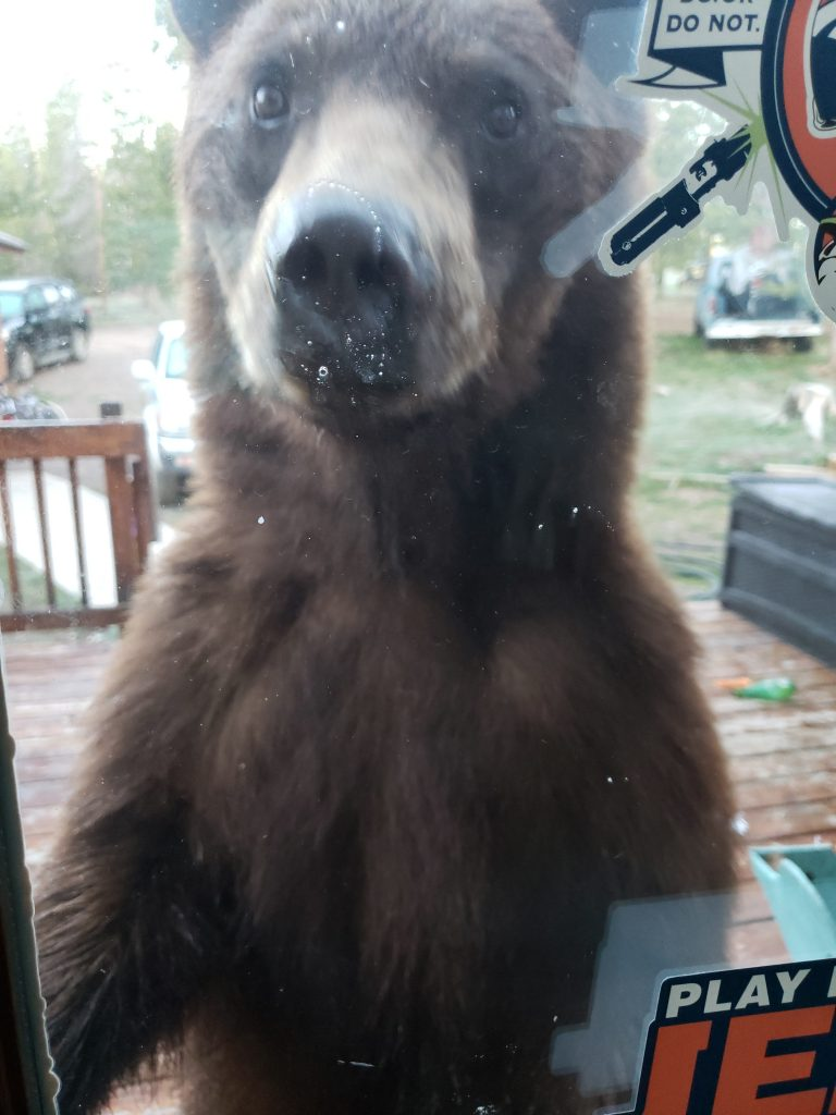 A bear walks up to a glass door in Stagecoach.