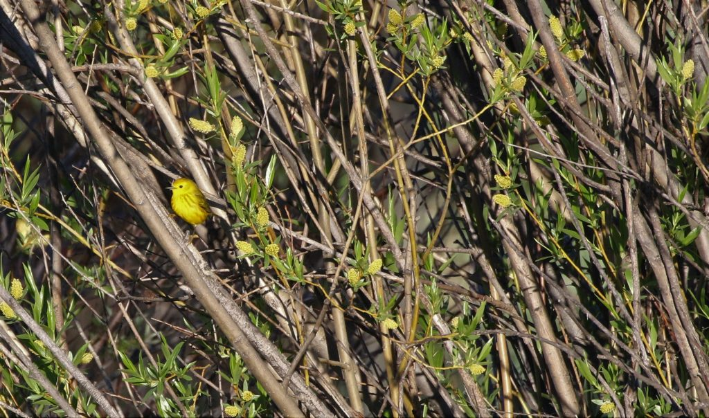 Yellow Warbler near 131 and river rd